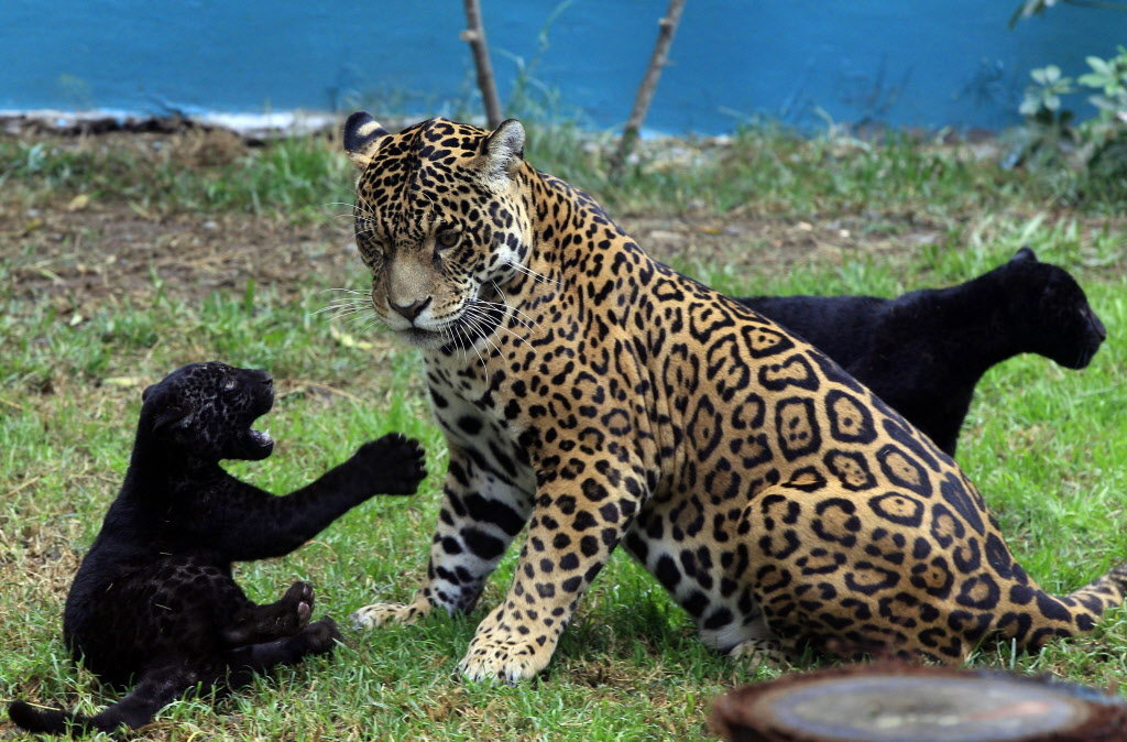 дело постепенном пума и леопард фото желтые